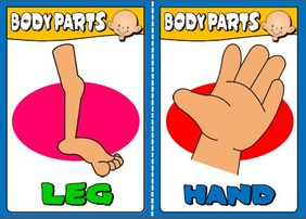 body - flashcards